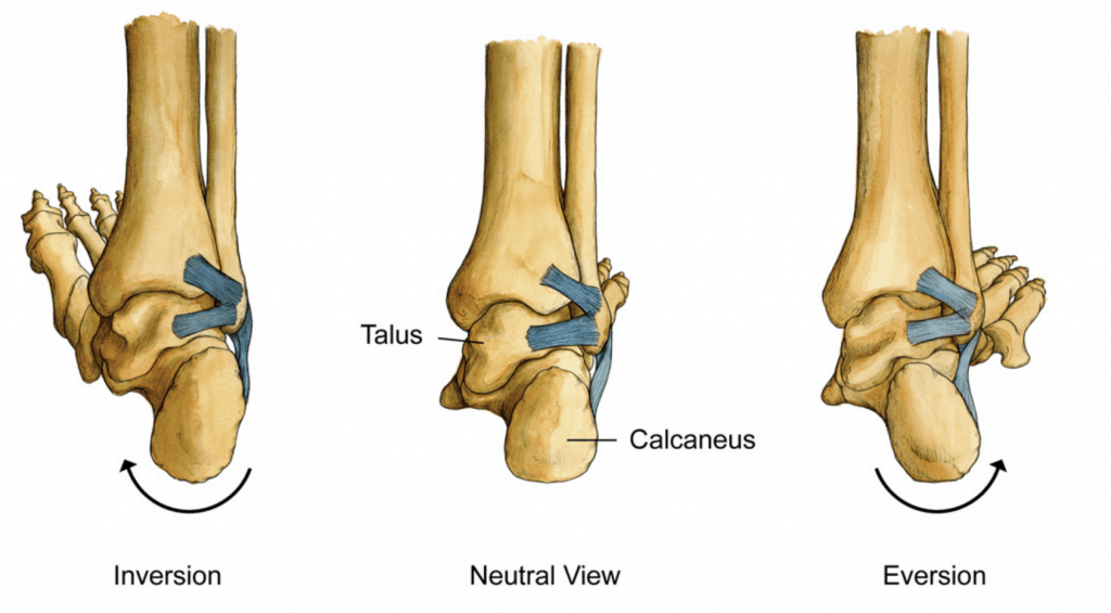 ankle sprain mechanism of injury and anatomy