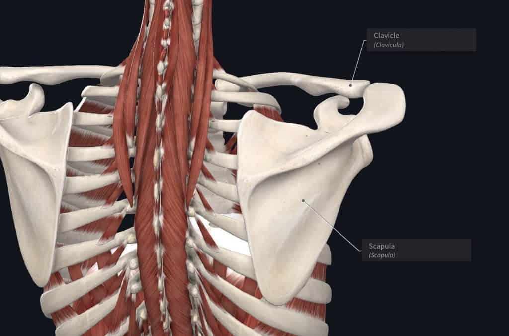 posterior shoulder bones